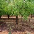 21世紀の木 ニーム-657 ニームは捨てるところがありません。