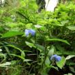 ムラサキツユクサ(紫露草)