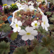 「おはようの花」 プリムラ シネンシス 2月