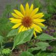 黄色い花(*^_^*)