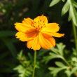 ルッセリアの花とキバナコスモス