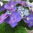 萼紫陽花(がくあじさい)という花