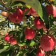 沼田でリンゴを