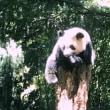 上野の森のシャンシャン日記 ~生後342日、大きくなった?