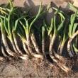 久しぶりの畑 白菜と長ネギの収穫