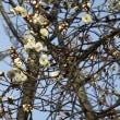 国立に梅の花咲く/キルギスに抑留された元日本兵に手紙を出す