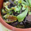 岩手県立花きセンターの食虫植物・ハエトリグサ 2017年12月8日(金)