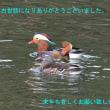 オシドリ(北九州市若松区)
