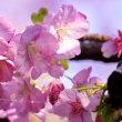 美しい てんれい河津桜 (波切・大慈寺)