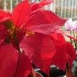 12月の鉢花・・・真っ赤なポインセチア
