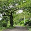 桜道とキンモクセイ
