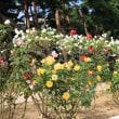 敷島公園の秋バラ2018