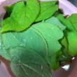 イカリ草の天ぷら