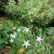 センブリの花(^_^)v