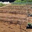 秋冬野菜の苗を植え付ける。ハクサイ・キャベツ・ブロッコリー等。