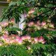 旧二中のネムノキの花を眺めて、ポン酢仕込んでたら摘果したベビーコーンが届いて…
