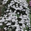 黄菖蒲開花