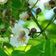 花木大角豆(ハナキササゲ)とそら豆
