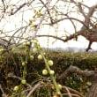 南部梅林の梅は丁度見頃で、クエづくしの料理も美味しかった…。