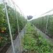 トマトに遮光シート張る