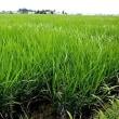 真夏日の圃場の稲の逞しく