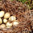 休耕田の片隅に『鴨の巣』を発見