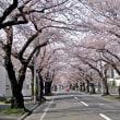 咲いた・咲いたサクラが咲いた ‼ (サクラNo1)