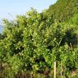 〈津屋崎の四季〉1191:「津屋崎干潟」のハマボウ自生樹