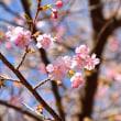 2月5日 河津桜