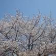 「桜」/不忍池・上野公園(2019春)