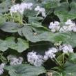 夜を彩るカラスウリの花