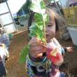 保存ダイコン掘り出し  ポップコーン播種補充