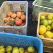 りんご狩りと次郎柿と柚子