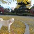 国宝・鑁阿寺の黄色い銀杏の絨毯を愛ちゃんと散歩したよ♪