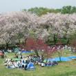 千曲川河川敷の八重桜