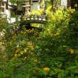 京都四條通り西の突き当り【松尾大社】の山吹が最高!