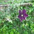 こちらも咲きました。紫のクレマチス