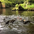 湯河原 海石榴 滞在記 - ⑨ 池の鯉がすごいことになった朝食タイム!