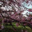 チコさん桜きれいでしょう。