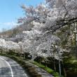 茅野市運動公園の桜2017