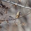 アキニレの木には、オスとメスのベニマシコがやって来た。
