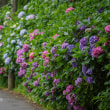 紫陽花便り2018【通玄橋界隈】今、鎌倉で一番綺麗だと思う場所