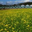 『昨年の』 菜の花畑