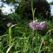 タマムラサキの花