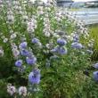病院の周りの秋の花たち