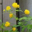 花水木の花が散り始め・・・