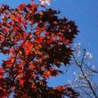紅葉と桜花のコラボレーション 小原四季桜まつり 3