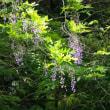 大町自然観察園のキショウブ*フジの花