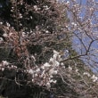 梅・桜咲く その2