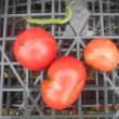 今日の収穫 ニラ オクラ ふだん草 ピーマン シロウリ インゲン トマト